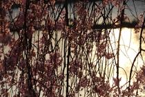 京都の春 夕日と鴨川、桜