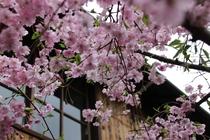 京都の春 お庭の桜