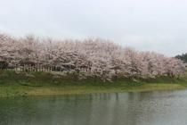 白竜湖の桜並木