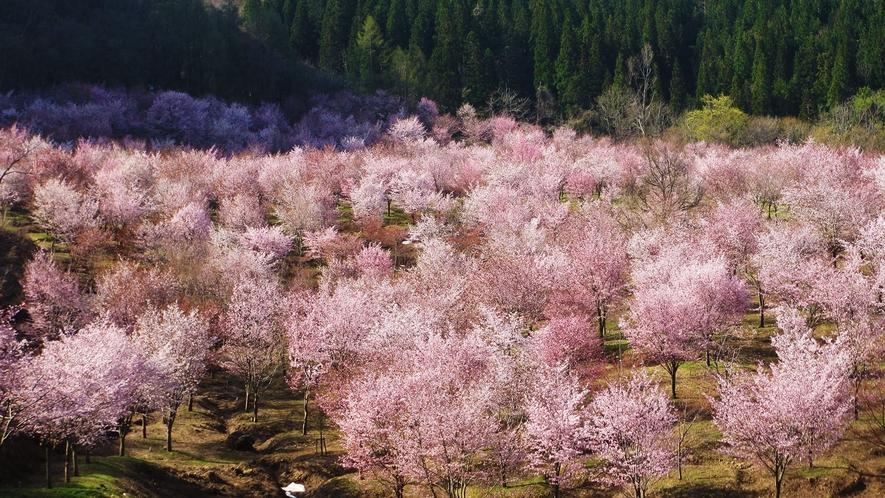 【桜峠】なんと3000本ものオオヤマザクラが、ゴールデンウィーク前後に咲き誇ります。