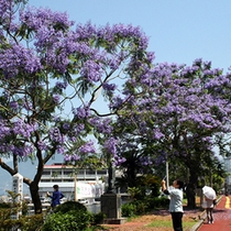 小浜温泉街に咲くジャカランダの花