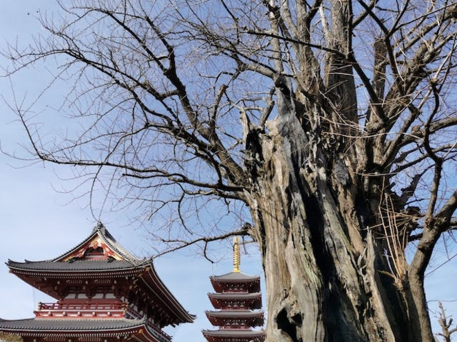 浅草寺のイチョウ