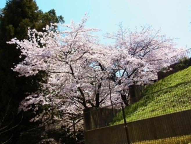 ベランダ(六畳部屋)外の桜