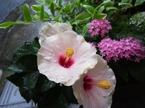 夏のお花-むくげ