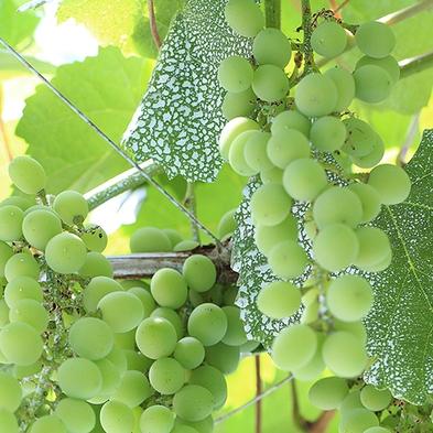 【1日2室限定】赤でも白でもない、緑のワイン「ヴィーニョ・ヴェルデ」でSaude(乾杯)♪
