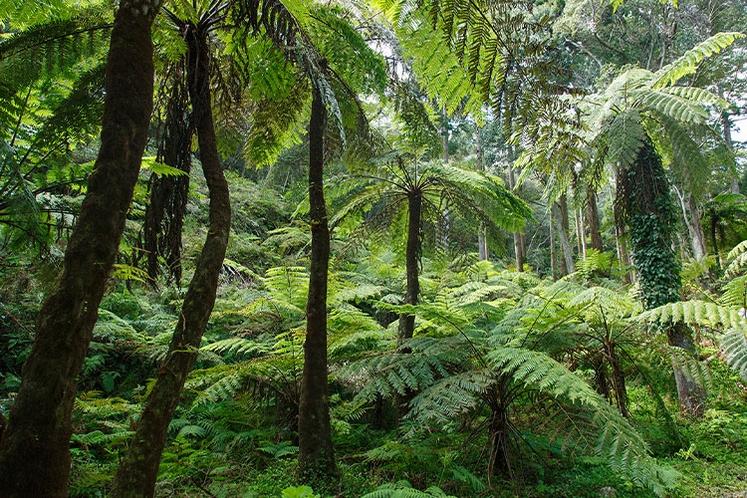 天然記念物のヘゴシダの森