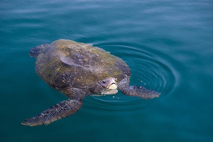 海水浴やシュノーケルで高確率でウミガメに会える島