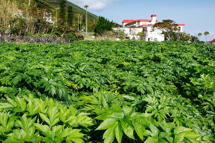 八丈島名産・明日葉の自家菜園