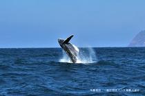 【冬季のみ】ザトウクジラのホエールウォッチング