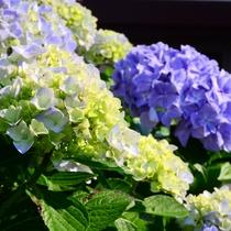 *初夏には、エントランスで満開のあじさいが迎えてくれます。