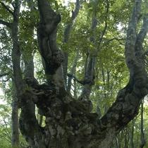 *【あがりこ大王 夏】独特な樹形が特徴で空へ向かい大きく広がる様はとても神秘的です。