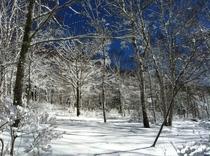 (冬)雪の白樺林