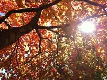 (秋)紅葉と陽射し2