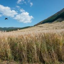 *【周辺観光】仙石原の秋の風物詩。すすき草原。