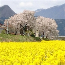 川渡河川敷の桜と菜の花