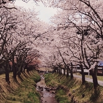 湯沢川の桜