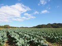 京丹後のキャベツ畑