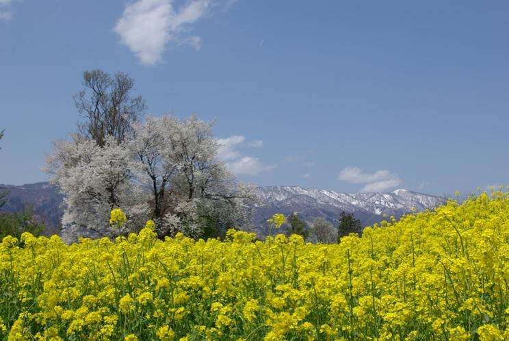《飯山》『いいやま菜の花まつり』風景写真②