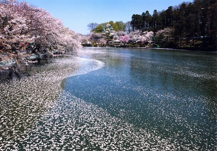 臥竜公園桜