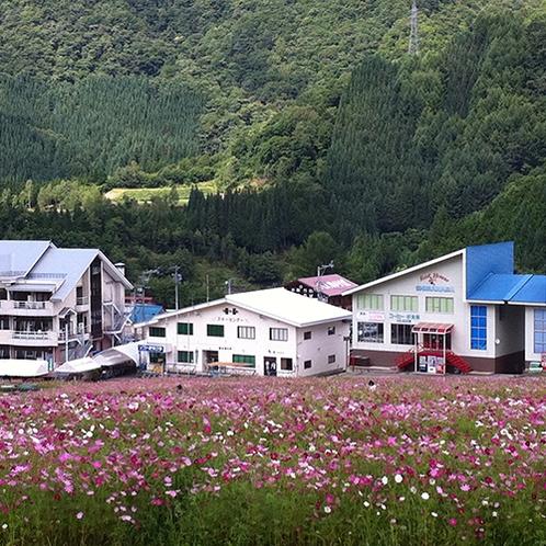 【ほおのき平コスモス祭】4ヘクタールの敷地に約800万本のコスモスが咲き乱れます♪