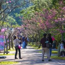 本部八重岳さくら祭り 車で30分の八重岳桜の森公園