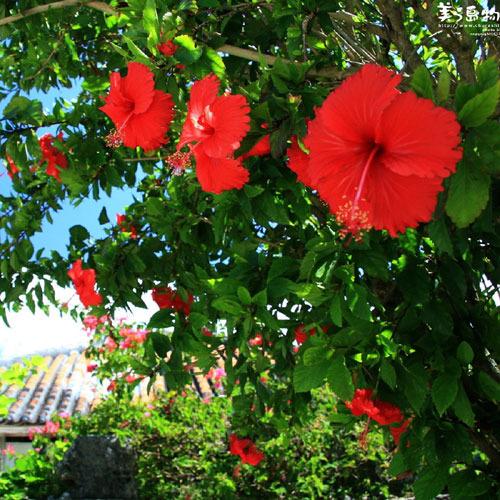 沖縄の花 ハイビスカス