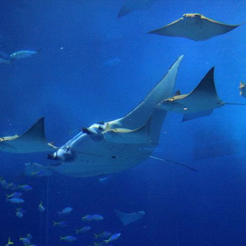 美ら海水族館【車で約60分】ジンベイザメやさまざまな魚たちが待ってます