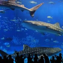 【美ら海水族館】 時には目の前で3匹が交差することも