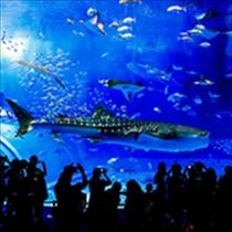 【美ら海水族館】黒潮の海 迫力のジンベエザメ