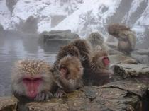 地獄谷野猿公苑スノーモンキー