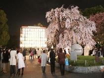 【周辺案内】上野公園夜桜