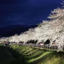 馬見ヶ崎 桜ライトアップ