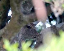 野崎島の鹿