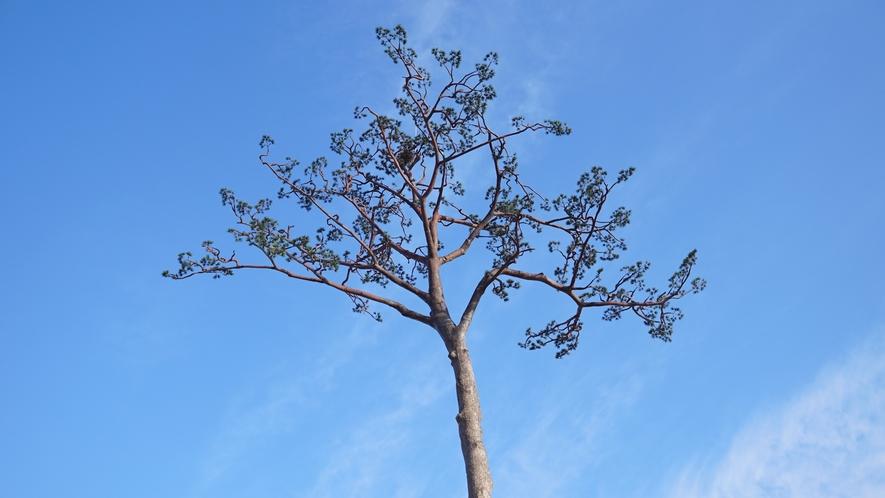 *周辺観光/奇跡の一本松。東日本大震災の際奇跡的に生き残った一本松。