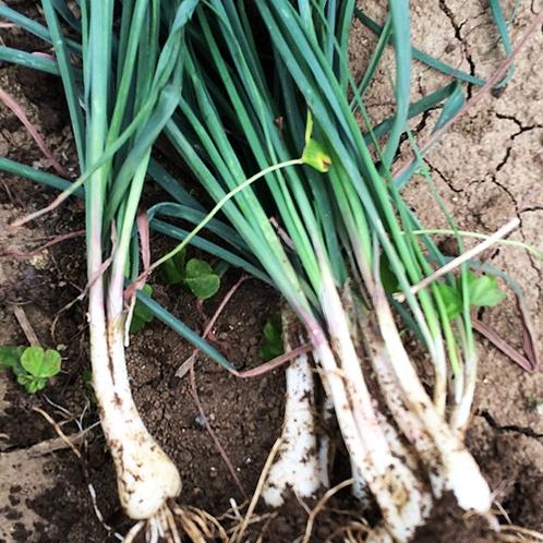 *【家庭菜園】食べごろになったらもちろん収穫も行っております。