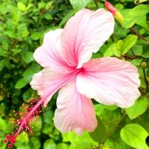*【周辺】/夏の花と言えばハイビスカス。
