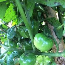 *【家庭菜園】おいしい野菜ができるのを願いながら育てています。