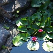 ◇6月には玄関先の池の蓮の花が綺麗です。