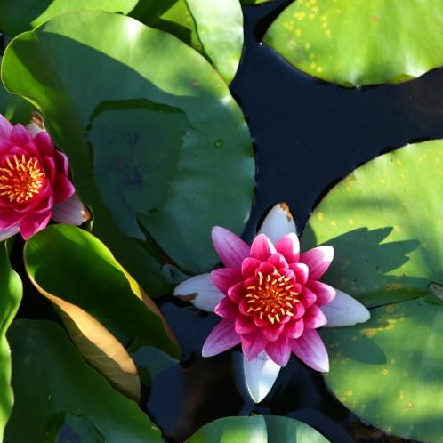 ◇庭の池には蓮の花が。
