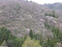 山桜咲く春の福地山(5月1日撮影)