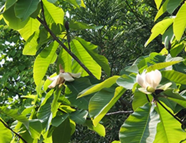 ふんわり花の香りも。朴の木の花が咲きました(5月中旬)