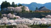 【周辺観光・春】篠山城跡のお濠沿いに植えられたソメイヨシノが一斉に咲き誇ります。