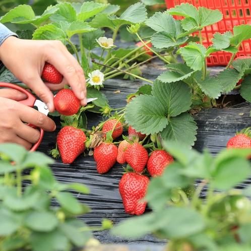 丹波篠山の独特の気候風土の中で育ったイチゴ