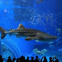 沖縄を代表する人気スポット「美ら海水族館」悠々と泳ぐジンベイザメ