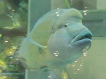 大きなナポレオンフィッシュが泳ぐ「ライカムアクアリウム」