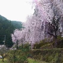 【旧平野地区のさくら】国道沿いでは無く少し山に入るためわかりにくいですが、桜の時期は一見の価値あり!