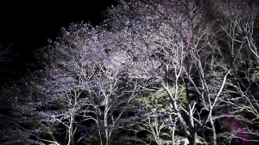 *【川口ダム周辺のさくら】周辺にはかなりの数の桜の木が植えてあり、ダム湖を囲んで様々な場所で見られま