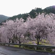 【旧平野地区のさくら】もみじ川温泉より車で約15分程度。しだれ桜が毎年きれいに咲き誇ります。