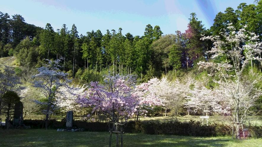 *【大塚製薬ワジキ工場のさくら】工場周辺にも何か所かきれいにさくらが咲くスポットがあります♪