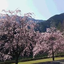 【大塚製薬ワジキ工場のさくら】もみじ川温泉から車で約20分。しだれさくらがきれいに咲きます。